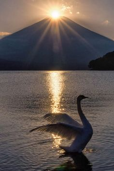 Perfect Timing ~ Swan stretching  wings as the Sun rises over the mountain.