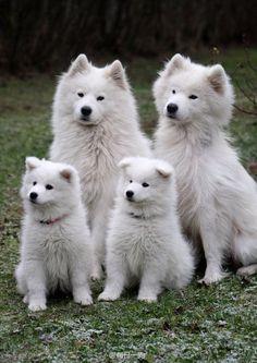 Samoyed mom, dad & the 2 surviving puppies! Animals And Pets, Baby Animals, Funny Animals, Cute Animals, Funny Dogs, Samoyed Dogs, Pet Dogs, Dog Cat, Doggies