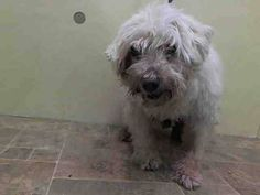 TO BE DESTROYED - 11/15/14 Manhattan Center ** BLIND SENIOR ALERT **    My name is SCOOBY. **BLIND*** My Animal ID # is A1019900. I am a neutered male white poodle stnd mix. The shelter thinks I am about 13 YEARS old.  I came in the shelter as a STRAY on 11/06/2014 from NY 11379, owner surrender reason stated was STRAY.