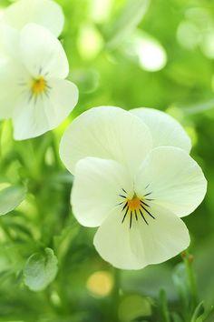 Spring ~ Pansies in bloom.