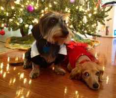"Oscar & Missy say ""Merry Christmas""! - photo via I love Dachshunds fb page"