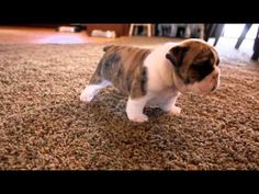 Two English Bulldog Puppies Learning to Walk