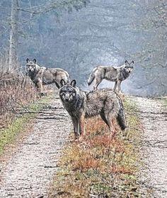 AUF EINER WEIDE IN DER LÜNEBURGER HEIDE Fohlen von Wolfsrudel gefressen?