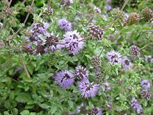 Pennyroyal - The fresh or dried leaves have been used when treating colds, influenza, abdominal cramps, and to induce sweating