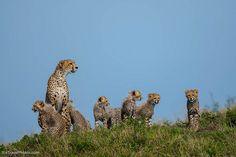 Cheetah supermom with six cubs, Masai Mara, Kenya by Paul Goldstein (eTravelPhotos) on Flickr.