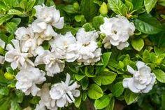 Gardenias - Google Search