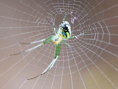 Orb-weaver Spider - Orchard Orbweaver (Leucauge venusta)
