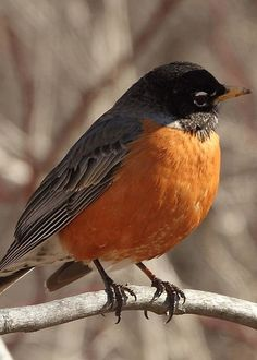Adult Robin Greeting Card for Sale by David Rosenthal