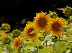 I cannot wait to plant a huge variety of sunflowers across the back of my yard this spring.  Love them.