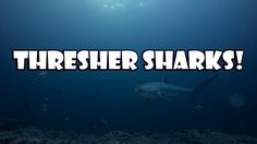 gopro pole philippines | Close Encounter with Thresher Sharks of Malapascua - WATCH VIDEO HERE -> http://pricephilippines.info/gopro-pole-philippines-close-encounter-with-thresher-sharks-of-malapascua/      Click Here for a Complete List of GoPro Price in the Philippines  *** gopro pole philippines ***  The island of Malapascua in the Philippines is a popular destination for scuba divers to spot thresher sharks. Filmed with a GoPro HERO4 Black. Camera – GoPro HERO4 BLA