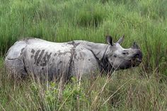 The endangered one-horned rhinos of Nepal were down to 375 in 2005, but today they number a triumphant 675. The rise in Rhino population occurred thanks to anti-poaching measures over the past deca...