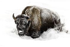 Buffalo in deep Snow