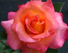 Best Floribunda Roses | MardiGras—Best Floribunda Rose 2012