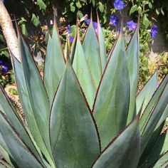 Beautiful Agave 'Blue Glow' by SucculentWonderland on Etsy