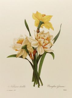 vintage daffodil illutration | Double Daffodil, Botanical Illustration, Redoute Flower Print No. 82