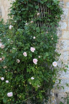 rose blanche   les fleurs du jardin le coteau de belpech