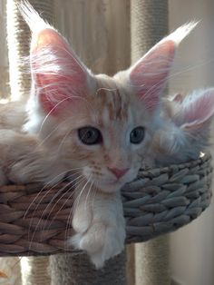 Chat - Maine coon - H'Ice & Idylle on www.yummypets.com Cat, cute, pets, animals, kitten, kitty, pussy cats, meow, Yummypets