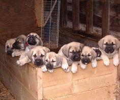 Mastador puppies! Like i really need another dog, but I want one :(