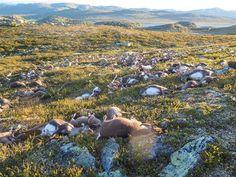 Una tormenta eléctrica provoca la muerte de 323 renos en Noruega