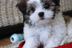 malshi puppy- maltese X shih tzu