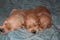 Australian Labradoodles Puppies for Sale - http://www.rainpuddleslabradoodles.com/contact/