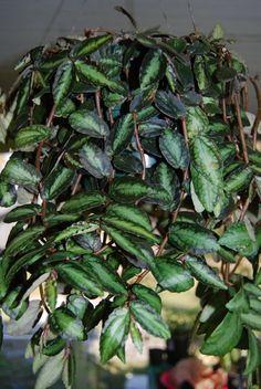 Rare Polynesian Ivy Trailing Vine  Pellionia