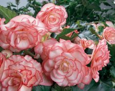 On Top® Pink Halo - Tuberous Begonia - Begonia x tuberhybrida