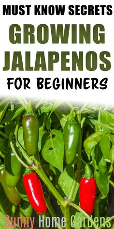 Tips and Advice on how to grow jalapeno peppers in your backyard garden. Jalapenos are the perfect veggie to grow in your vegetable garden. So many delicious recipes you can use jalapenos in. Indoor Vegetable Gardening, Container Gardening Vegetables, Succulents In Containers, Veg Garden, Tomato Garden, Vegetable Garden Design, Planting Vegetables, Growing Vegetables, Container Flowers