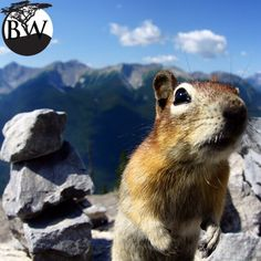 ⭕️VOLUNTEER OF THE DAY⭕️ Roger Lustenberger @enjoynature77 According to the IUCN Red List, many flying and ground squirrels like the red squirrel are endangered and The Namdapha flying squirrel is critically endangered. Climate change, habitat destruction and human intervention might compromise more species. There are many animals that hunt and eat squirrels. We must not consider them as pests, they contribute to the balance of the ecosystem.
