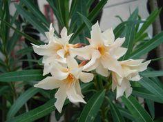 Főnix Flowers, Mediterranean Plants, Royal Icing Flowers, Flower, Florals, Floral, Blossoms