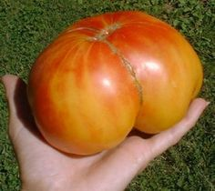 Old German Heirloom Tomato. This tomato was a favorite of Mennonite families from the Shenandoah Valley area of Virginia, and dates back to the mid-1800′s. It is in the beefsteak family and can grow to a robust size of almost 2 pounds. The Old German tomato is bi-colored, featuring golden yellow and reddish stripes.