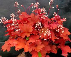 Heuchera 'Rio' What a little Beauty !