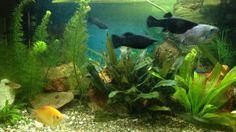 Een gezelschapsaquarium met leuke bekende vissoorten.