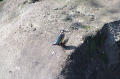 栃木県中央公園のカワセミ http://wp.me/p4BDoU-bg