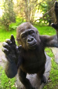 Layla, one of three new baby Western Lowland gorillas, waves a greeting from the other side of a glass partition at the Bronx Zoo's Congo Gorilla Forest exhibit.