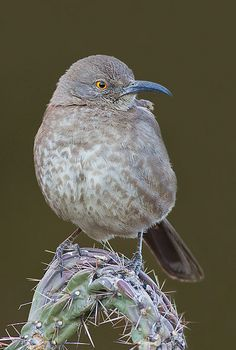 Curve-billed Thrasher .. Member of the mockingbird family.  We have one in the back yard that sings all day long the past few weeks