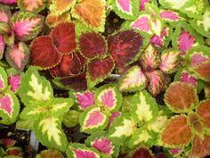 Las plantas son las personas más extrañas: Temperatura (scutellarioides Solenostemon)