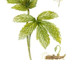 All about Goldenseal for healing.