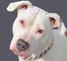 Meet Phoebe 02-08-2014-1 a Petfinder adoptable American Staffordshire Terrier Dog | Yonkers, NY | This pretty girl has been here a few weeks and has everyone at the shelter vying for a chance to...