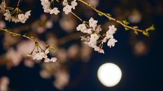 Cherry blossoms in full bloom seen under the moon in Tokyo, Japan, on March 30, 2015. -- PHOTO: EPA     In full bloom: Cherry blossom season begins - East Asia News & Top Stories - The Straits Times