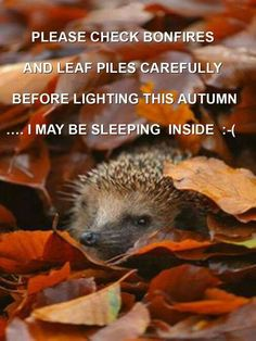 Bonfire night safety for hedgehogs Bonfire Night Safety, Stress, Pause, Halloween Christmas, Fireworks, Cute Cats, Hedgehogs, Pictures, Bonfires