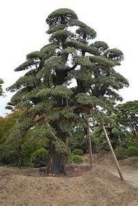 niwaka trees at DuckDuckGo