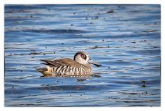 Pink-eared Duck - Yerrabi Pond, ACT
