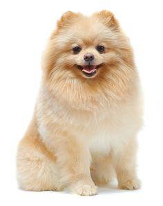 pomeranian dog pictures | Portrait of sitting pomeranian spitz