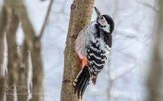 White backed woodpecker by dubinkinv via http://ift.tt/2gMu5Un