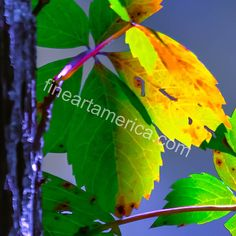 Luminous Leaves 2 Photograph by Brian Stevens Beautiful Landscapes, All Things, Plant Leaves, Photograph, Wall Art, Plants, Photography, Flora, Plant