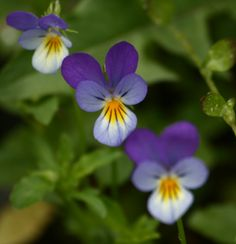 Viola - Top 10 beauty herbs growing in your lawn - read more about violets at www.herbhedgerow.co.uk