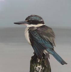New Zealand Kingfisher New Zealand Tours, New Zealand Art, New Zealand Campervan, New Zealand Mountains, Bird Masks, Nz Art, Kiwiana, Wild Creatures, All Birds