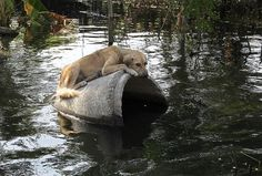 Abandoned dog clings to a concrete pipe in a flooded area in Bangkok. http://www.star2.com/living/2017/09/01/desperation-escape-rising-waters-animals-got-creative/#Cry6Ojy84Scp1mww.99