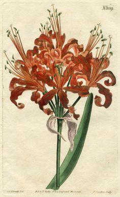 CURTIS BOTANICAL 1808: AMARYLLIS No.1089 Hand-Colored Engraving SYDENHAM EDWARDS